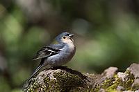 Madeirafink, Madeira, Portugal