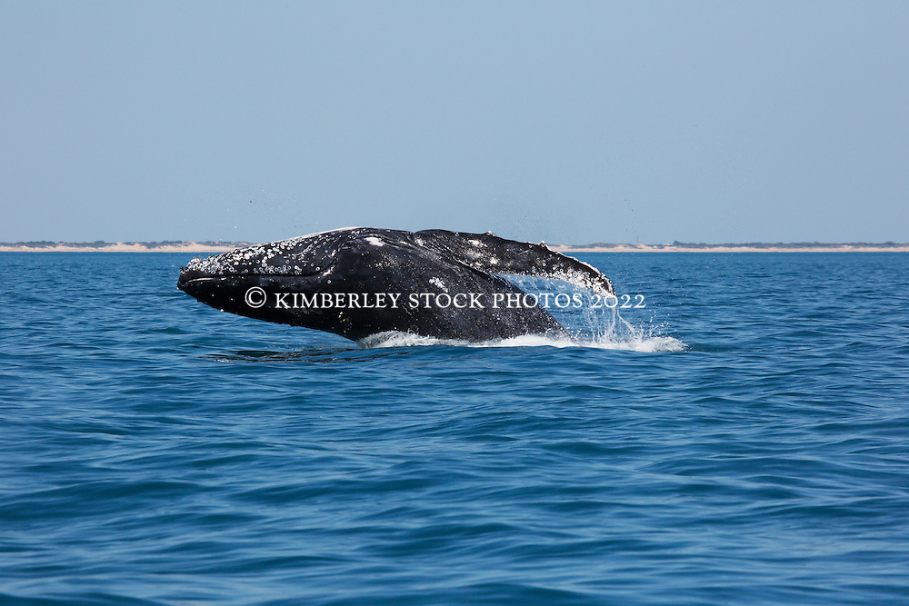 A Humpback whale breaches off Cable Beach, just north of Broome, Western Australia.