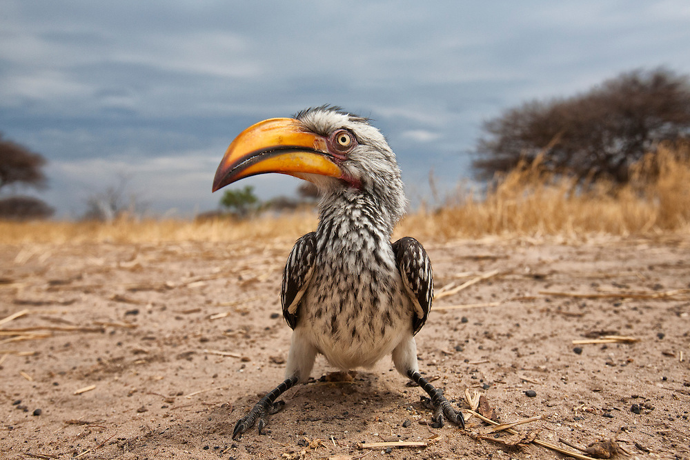 Yellow-billed Hornbill {Tockus leucomelas}, Deception Valley, Grand Central Kahlahari Game Reserve, Botswana.