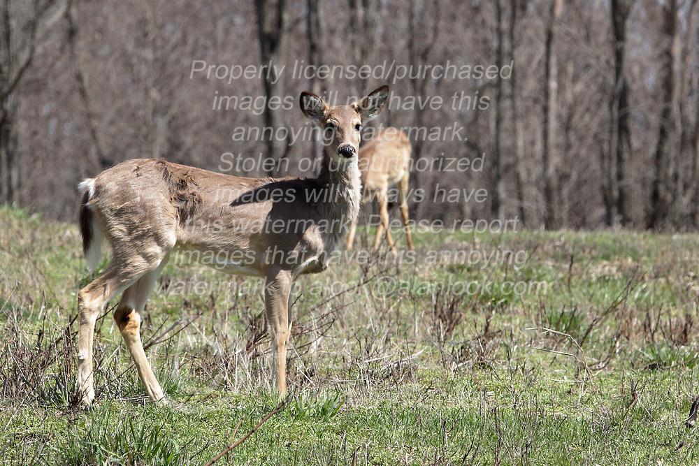 White-tailed deer or Virginia Deer (Odocoileus virginianus)