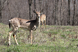 White-tailed deer or Virginia Deer (Odocoileus virginianus)