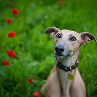 Images of Rory, meg, Sonny and Ziggy the Lurchers
