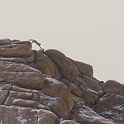 Snow Leopard jumping between the rock on the snowy ridge.