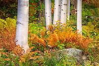 Fall ferns at the base of birch trees at Mount Washington in the White Mountains of NH.
