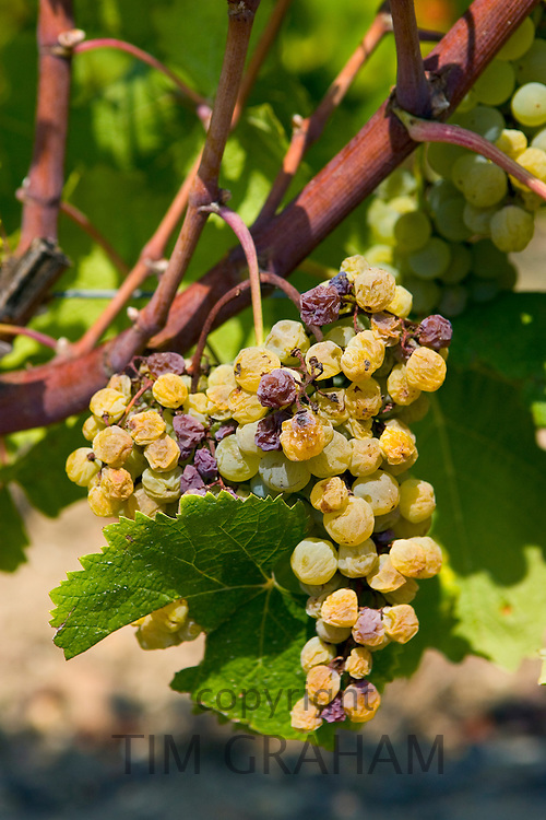 Noble rot, botrytis Cinera, on grape vine, Preignac, Sauternes,France on the estate of Chateau de Malle