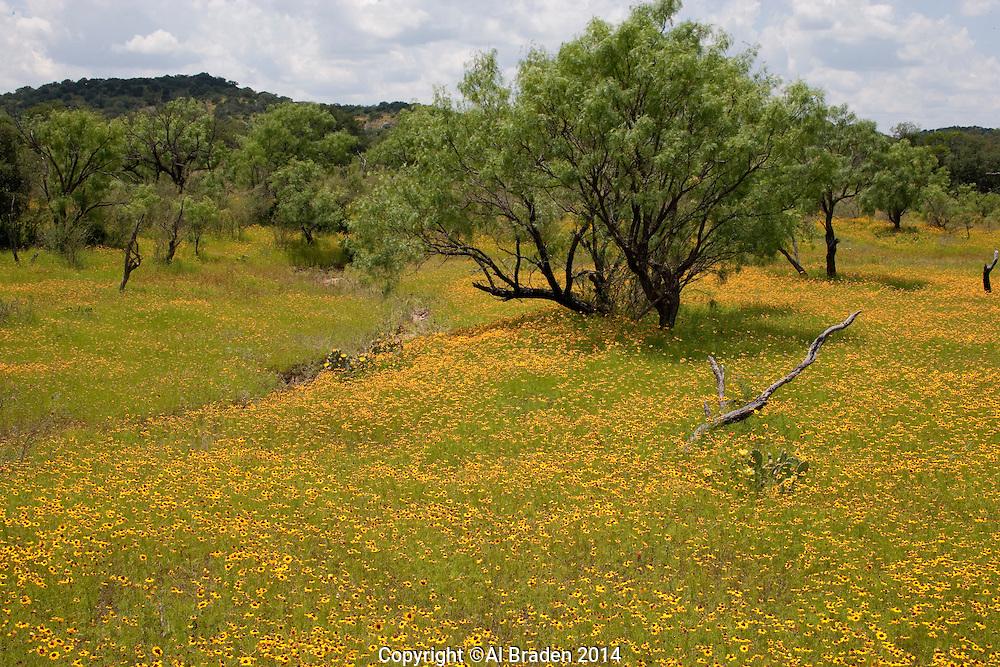 Coreopsis (Coreopsis wrightii), Bastrop County, Llano County, Texas