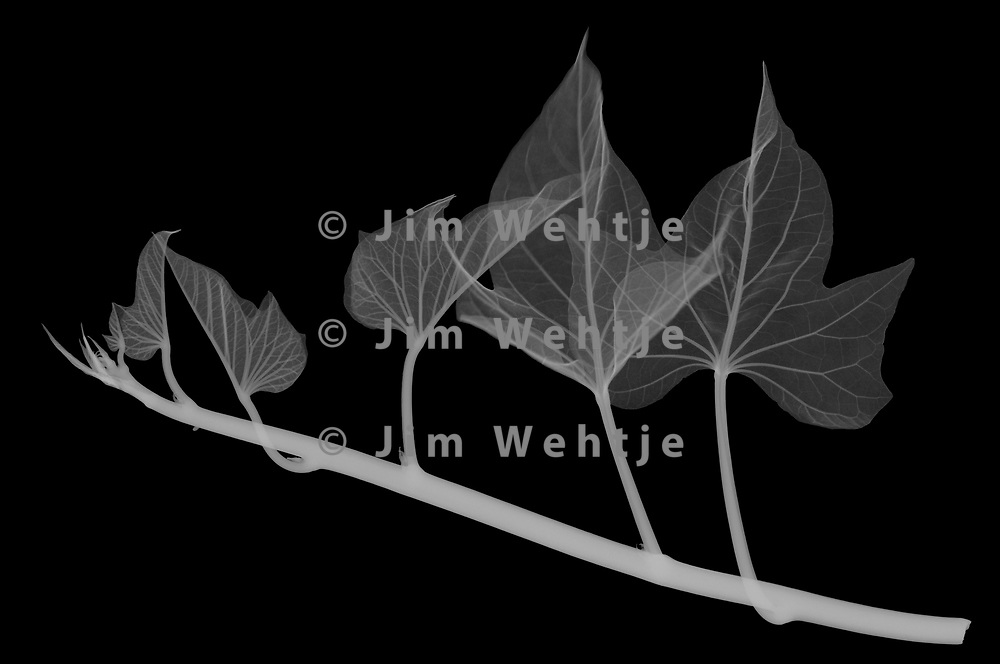 X-ray image of a 'Sidekick Lime' sweet potato vine (Ipomoea batatas 'Sidekick Lime', white on black) by Jim Wehtje, specialist in x-ray art and design images.