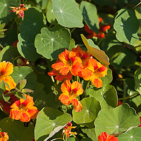 Bright orange edible nasturtium flowers (Tropaeolum majus)