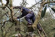 Taille des oliviers sur la propriété de l'huilerie De Carlo, Bitritto, Pouilles, Italie.