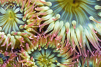 9506000103 Sea Anemone, Crescent Beach, Olympic Peninsula, WA, USA