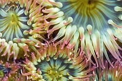 9506000103 Sea Anemone, Crescent Beach, Olympic Peninsula, WA, USA