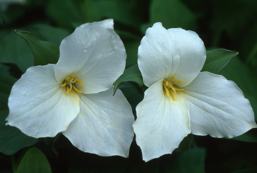 Trillium, spring wildflower, Pennsylvania