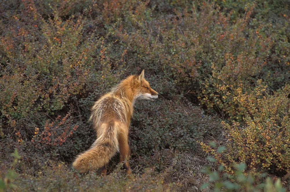 Red Fox, Vulpes Vulpes, North America