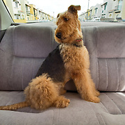 Airdale terrier dog traveling on backseat of a car. Cancun,Quintana Roo. Mexico