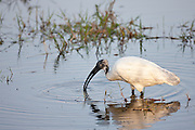 Black-Headed Ibis, Threskiornis melanocephalus, feeding in Ranthambhore National Park, Rajasthan, Northern India