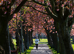 Woman running along footpath lined with cherry trees in blossom in The Meadows park in Edinburgh, Scotland, UK