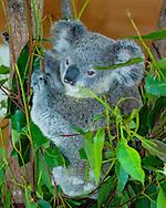 Koala in Eucalyptus tree