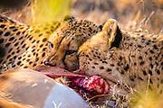 Two cheetah brothers feed on an impala kill.