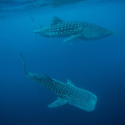 Two whale sharks (Rhincodon typus) passing, Honda Bay, Palawan, the Philippines.