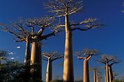 Avenue des Baobabs, Morondava, Madagascar