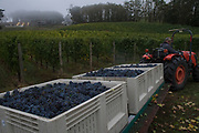 Alexana estate vineyard pinot noir harvest, Dundee Hills, Willamette Valley, Oregon