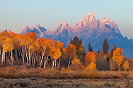 The sun just lights the top of the Tetons as it rises behind a grove of aspen in their fall colors, Grand Teton National Park