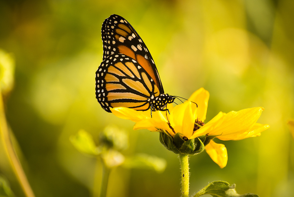 Monarch butterfly in a field on a yellow sunflower.