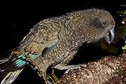 Kea, foraging, New Zealand
