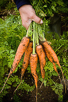 Food & Drink, carrots fresh from the ground