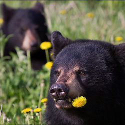 Two black bears enjoying a meal of dandelions in Chugach State Park near Anchorage, Alaska.