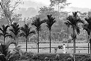 A walk accross the paddy fields, near Ratnapura.