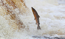 A salmon makes its way upstream on the River Tyne in Hexham, as tens of thousands of the fish have been helped by a new fish pass in a once in a lifetime journey to spawn.