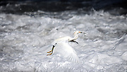 """SHOT 2/12/09 9:29:47 AM - A Snowy Egret takes flight while fishing in the swallow waters along the beach in Sayulita, Mexico. Adults are typically 61 cm long and weigh 375 g. They have a slim black bill and long black legs with yellow feet. The birds eat fish, crustaceans, and insects. They stalk prey in shallow water, often running or shuffling their feet, flushing prey into view, as well """"dip-fishing"""" by flying with their feet just over the water. Snowy Egrets may also stand still and wait to ambush prey, or hunt for insects stirred up by domestic animals in open fields..At one time, the beautiful plumes of the Snowy Egret were in great demand by market hunters as decorations for women's hats. This reduced the population of the species to dangerously low levels. Now it is protected by law, under the Migratory Bird Treaty Act, this bird's population has rebounded.The Snowy Egret (Egretta thula) is a small white heron. Sayulita is a small fishing village about 25 miles north of downtown Puerto Vallarta in the state of Nayarit, Mexico. Known for its consistent river mouth surf break, roving surfers """"discovered"""" Sayulita in the late 60's with the construction of Mexican Highway 200. Today, Sayulita is a prosperous growing village of approximately 4,000 residents. Hailed as a popular off-the-beaten-path travel destination, Sayulita offers a variety of activities such as horseback riding, hiking, jungle canopy tours, snorkeling and fishing. Still a mecca for beginner surfers of all ages, the quaint town attracts upscale tourists with its numerous art galleries and restaurants as well. Sayulita has a curious eclectic quality, frequented by native Cora and Huichol peoples, travelling craftsmen as well as international tourists. Sayulita is the crown jewel in the newly designated """"Riviera Nayarit"""", the coastal corridor from Litibu to San Blas. It's stunning natural beauty and easy access to Puerto Vallarta have made Sayulita real estate some of the most sought after in all"""