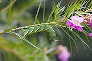 Rustic Sphinx Moth Caterpillar, Manduca rustica, on Desert Willow, Chilopsis linearis; Sonoran Desert, Arizona