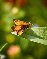 Zabulon Skipper (?) Butterfly. Image taken with a Nikon 1 V3 camera and 70-300 mm VR lens