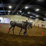DEL MAR, CA - AUGUST 13, 2014: Before being inspected by a veterinarian, a race horse walks through the receiving barn at the Del Mar Thoroughbred Club. CREDIT: Sam Hodgson for The New York Times