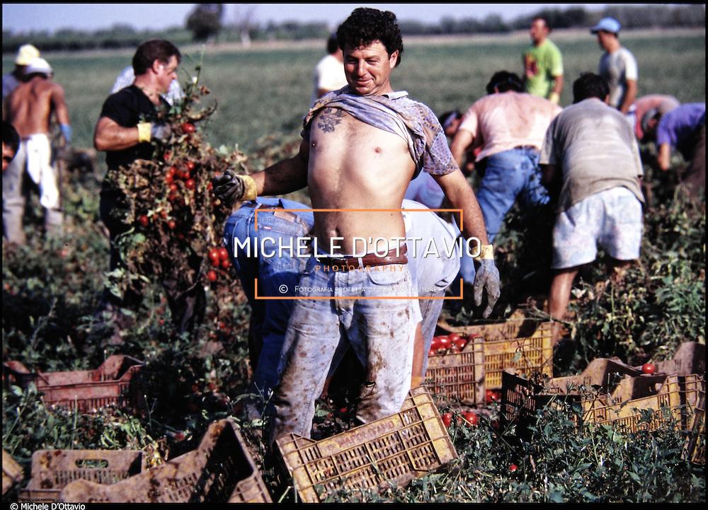 Raccolta dei pomodori nei campi di Cerignola in provincia di Foggia