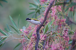 An adult white-throated honeyeater (Melithreptus abogularis) perches on a grevillea at the top of Inglis Gap on the Gibb River Road in Western Australia's Kimberley region.  The white-thorated honeyeaters are commonly found in woodland across northern Australia.