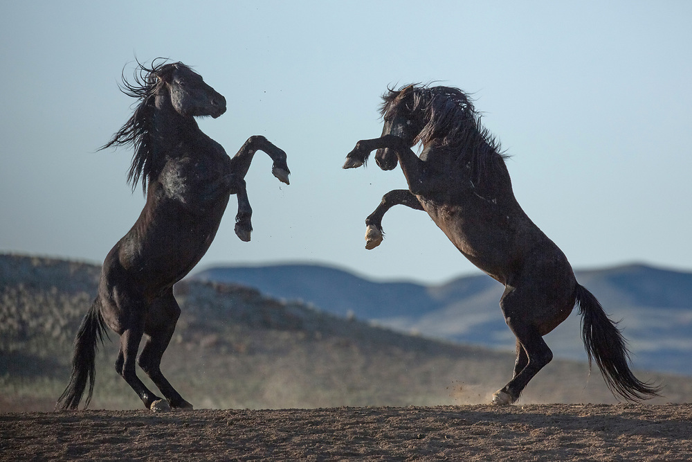 The black stallion, Lonesome, dispatches a rival as they meet above the waterhole at McCullough Peaks.
