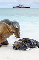 Galapagos Sea Lion, Zalophus wollebacki mother and pup on Gardner Bay beach on San Cristobal Island, Galapagos National Park, Ecuador.