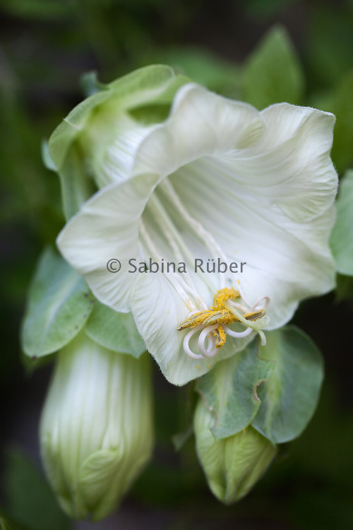 Cobaea scandens f. alba - white-flowered cup-and-saucer vine