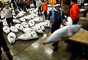 "An employee at the world's biggest fish Market in Tsukiji, Tokyo loads large tuna that have been auctioned at the market onto wooden carts for delivery to wholesalers. More than 2,300 tons of fish -- about one-third of the total consumed in Japan -- passes through Tsukiji each day and the market offers more than 450 varieties of marine products. The market, which dates back almost 75 years, is slated to move to a high-tech site on a man-made island in Toyosu, which is well-documented as being contaminated with benizine. Not that Tsukiji is much better off -- many buildings in the aging site are stuffed with asbestos. ""Choose your poison,"" says one Tsukiji official. The new site, which the government plans to be readied by 2012, will be significantly larger, with more room for off-loading and for sellers to display their goods. The current location, says one official, is too cramped and collisions between motorised carts and pedestrians means accidents occur almost daily. Meanwhile, with fish sales down, it is becoming more difficult to justify Tsukiji's prime location and property developers are keeping a close watch on Tsukiji land, which is just a few blocks from the ritzy Ginza district of Tokyo, where per-meter land prices are among the highest in the world...The move to the new Toyosu location, meanwhile, has been at the center of heated debate -- clean-up operations alone are estimated to cost ¬?67 billion (around US$660 million), with a further ¬?450 billion to build a new marketplace. Big wholesalers favour the move, but the 1,600-plus merchants mostly are against it. Yoshiharu Kikuraku, a Tsukiji storeowner who began working at the market 60 years ago, expresses bewilderment at the plans, saying that the name Tsukiji itself has become synonymous with the world's best and most eclectic selection of fish. ""This place has a long tradition. Why break it and start from scratch all over again?"" he says."