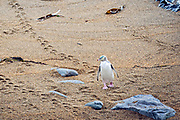 A yellow-eyed penguin eager to return to its coastal nest leads an ever growing trail of footprints in the wet sand.