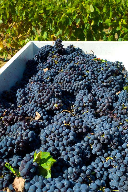 Freshly-picked bunches of Sangiovese Chianti Classico grapes at Pontignano in Chianti region of Tuscany, Italy