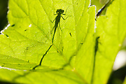 Silhouette of a bluetailed damselfy, backlit by the sun on a leaf.