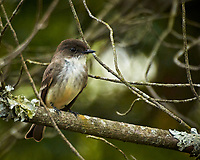 Eastern Phoebe. Image taken with a Nikon N1V3 camera and 70-300 mm VR lens (ISO 400, 300 mm, f/5.6, 1/320 sec).
