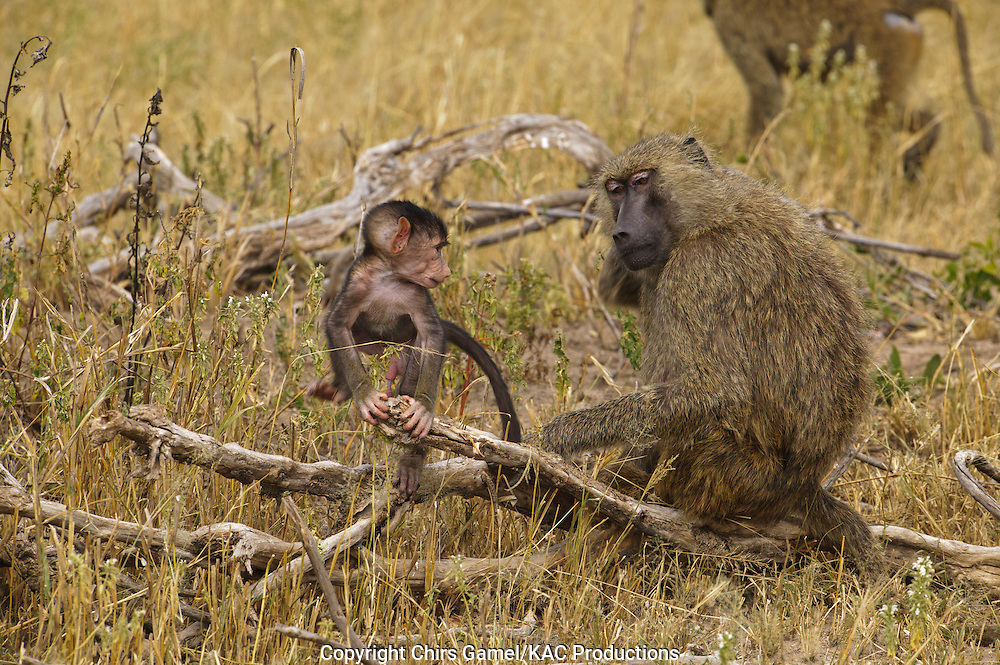 JInfant olive baboon climbing on branch next to mother.