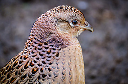 Female pheasant (Phasianus colchicus) in South Lanarkshire, Scotland<br /> <br /> (c) Andrew Wilson | Edinburgh Elite media