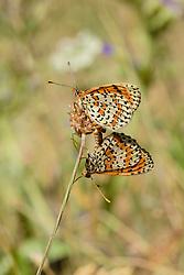 tweekleurige parelmoervlinder, Melitaea didyma