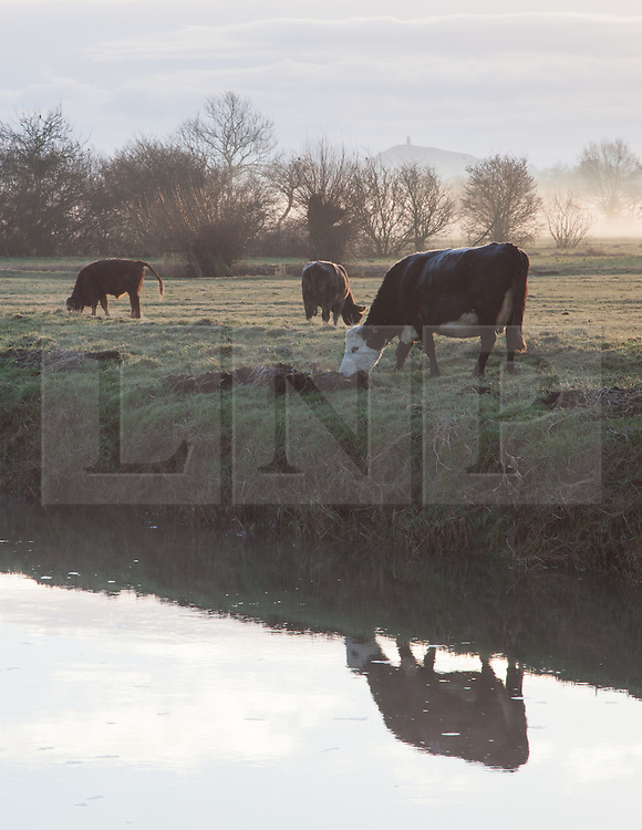 © Licensed to London News Pictures. 18/01/2015. Glastonbury, Somerset, UK. A herd of cows grazing by a river during a cold and misty sunrise over the Somerset levels near Glastonbury this morning, 18th January 2015. Photo credit : Rob Arnold/LNP